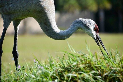 Birds, Crane, Sandhill Crane, Nature, Animal, Wild