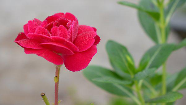 Red Rose, Red, Flower, Bloom, Blossom, Plant, Rosa