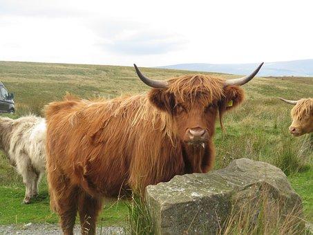 Highland Cow, Domestic Animal, Farm