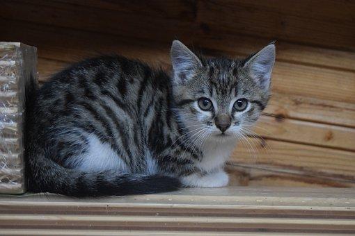 Cat, Domestic Cat, Kitten, Young Cat, Pet, Animal