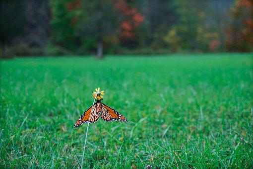 Monarch Butterfly, Butterfly, Fall, Nature, Wings