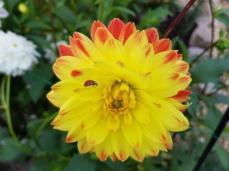 Ladybug, Flower, Blossom, Bloom, Dahlia, Dahlias