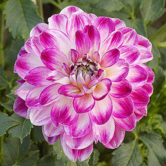 Dahlia, Flower, Botanical Garden, Bright