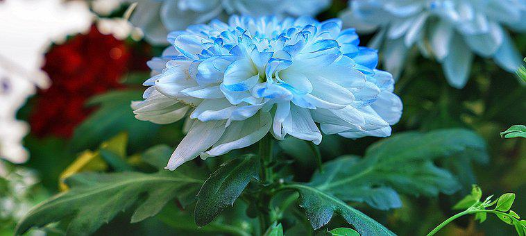 Flower, Dahlia, White, Blue, Edge