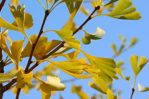 Ginkgo Biloba, Ginkgo, Yellow Leaves