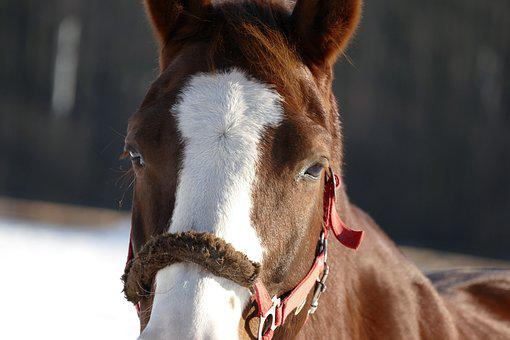 The Horse, The Horsehead Nebula, Stallion, Mare, Animal