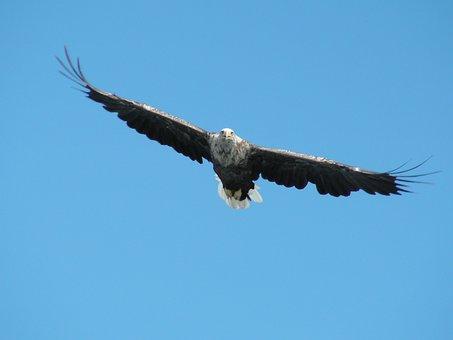 Bird, Raptor, Pigargue, Nature, Wild, Sky, Animal