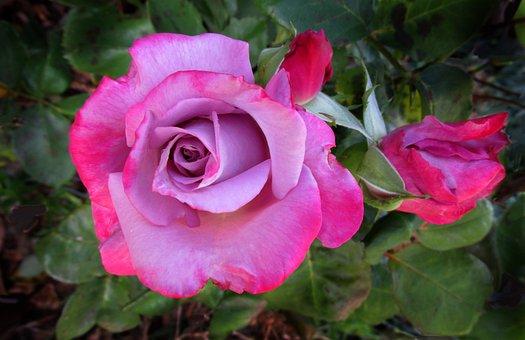 Mauve, Pink, Rose, Bloom
