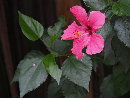 Flower, Plant, Pink, Flowers, Nature, Garden, Green