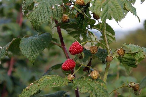 Raspberry, Bush, Red, Autumn, Berries, Nature, Fruits