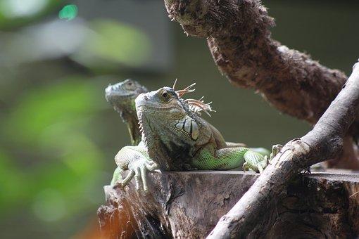 Iguana, Lizard, Zoo, Reptile, Animal, Nature, Wild