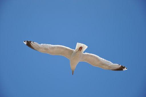 Seagull, Blue Sky, Bird, Sea, Sky, Fly, Birds, Nature