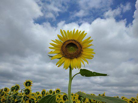 Nature, Summer, Sky, Flower, Sun, Field