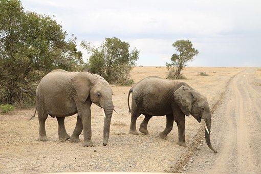 Elephant, Safari, Animal, Wild, Wildlife, Africa