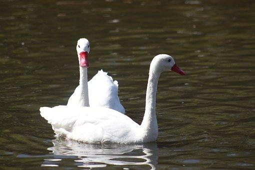 Ducks, White, Lake, Animal, Bird, Nature, Beak, Zoo