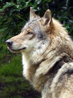 Wolf, Zoo, European Wolf, Wildlife Photography
