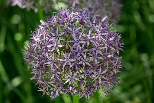 Ornamental Onion, Purple, Blossomed, Ball, Allium