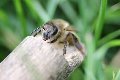Bee, Wood, Stick