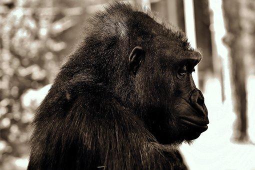 Gorilla, Thoughtful, Monkey, Ape, Mammal, Animal, Black