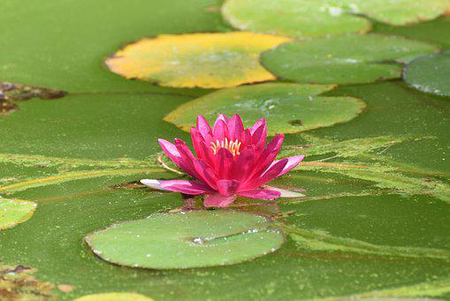 Madeira, Water Lily, Blossom, Bloom