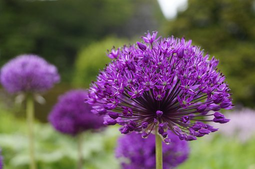 Allium, Ornamental Onion, Violet, Blossom, Bloom, Close