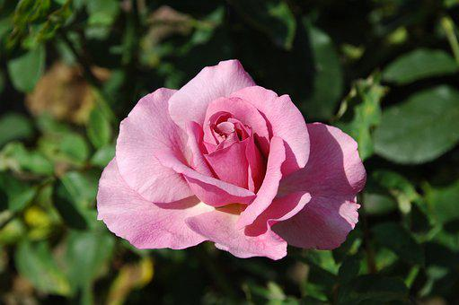 Floribunda, Flowers, Pink, Blossom, Bloom, Garden