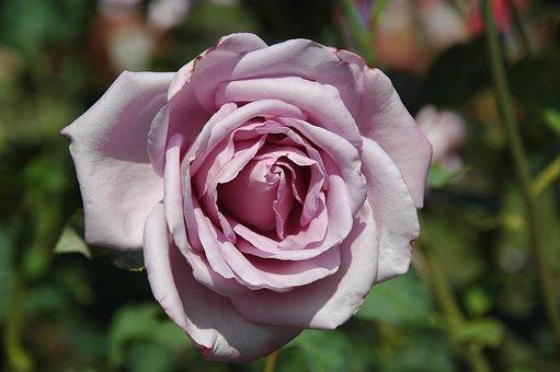 Floribunda, Flowers, Lilac, Blossom, Bloom, Garden