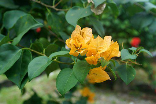 Yellow Bougainvillea, Thorny Ornamental Vines, Bushes