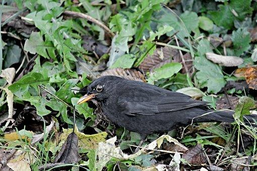 Blackbird, Songbird, Camouflage, Leaves, Bird, Nature