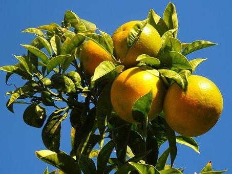 Oranges, Naranjo, Trees, Garden, Autumn, Citrus, Fruit