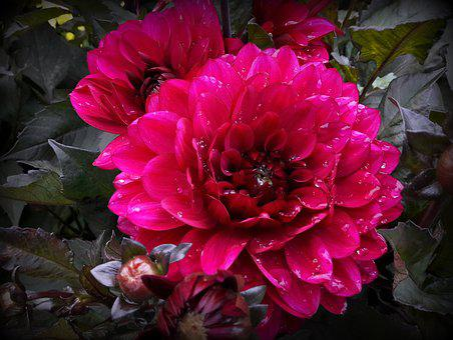 Dahlia, Raindrop, Single Bloom, Flower Garden, Close
