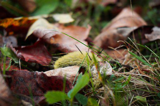 American Dagger Moth, Fall, Outdoor, Caterpillars