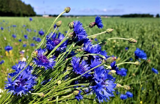 Flowers, Cornflower, Flower Bed, Summer Meadow, Go
