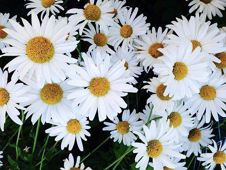 Garden, Daisies, Flower, Summer, Plant, White, Yellow