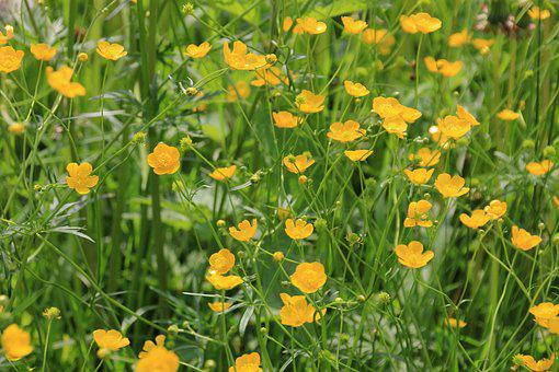 Flower Meadow, Flowers, Meadow, Buttercup, Nature