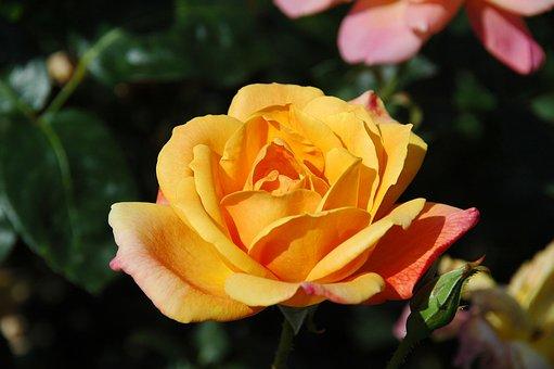 Floribunda, Flowers, Yellow, Blossom, Bloom, Garden