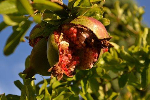 Pomegranate, Fruit, Southern Fruits, Ripe Fruit