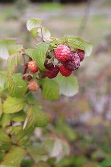 Raspberry, Organic, Branch, Berry, Garden