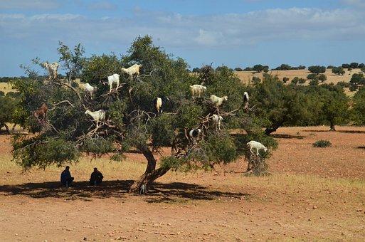 Goats, Tree, Shepherds, Morocco, Eat