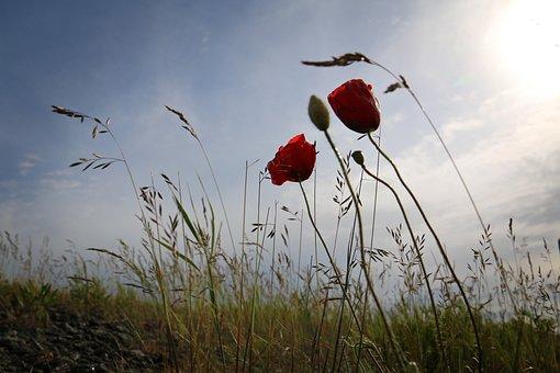Poppy, Back Light, Grasses