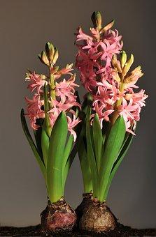Hyacinth, Pink Onion Flowers, Onion Flowers