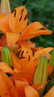 Lillies, Flowers, Orange, Lilly, Nature, Bloom, Blossom