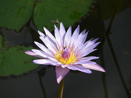 Water Lily, Flower, Bee, Foraging, Pond, Nature