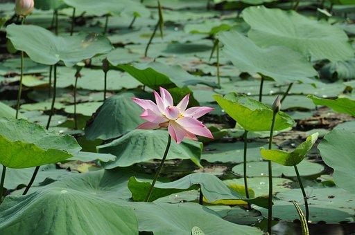Lotus, Viet Nam, Nature