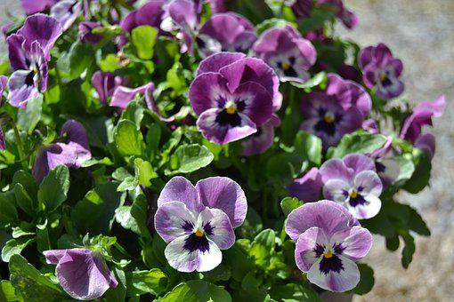 Pansy, Violets, Flowers, Garden