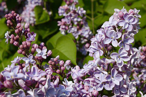 Garden, Lilac, Flower, Plant, Spring, May, Fragrant