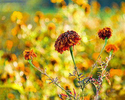 Marigold, Flower, Asteraceae, Plant, Stinky Chen, Faded