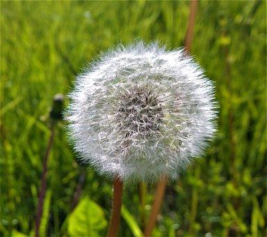Dandelion, Weeds, Seedpod, Seed, Garden, Summer, Plant