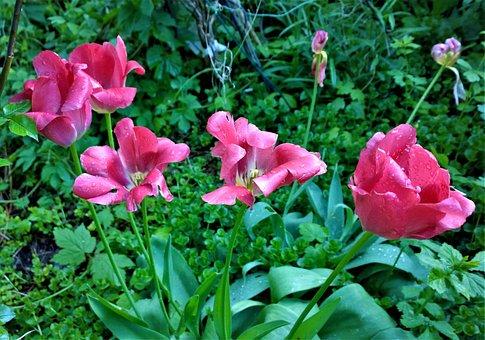 Tulips, Flowers, Garden, Planting, Tulip, Spring