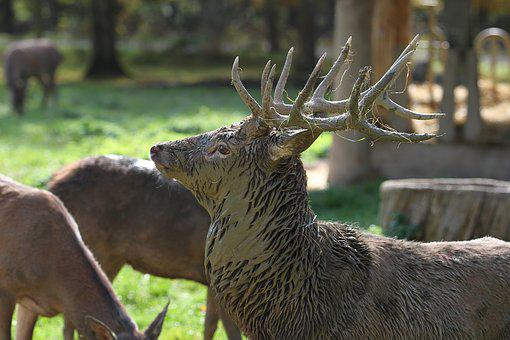 Hirsch, Antler, Forest, Wild, Nature, Mammal, Red Deer